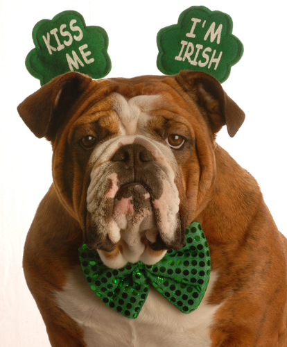 Bulldog in Irish Costume