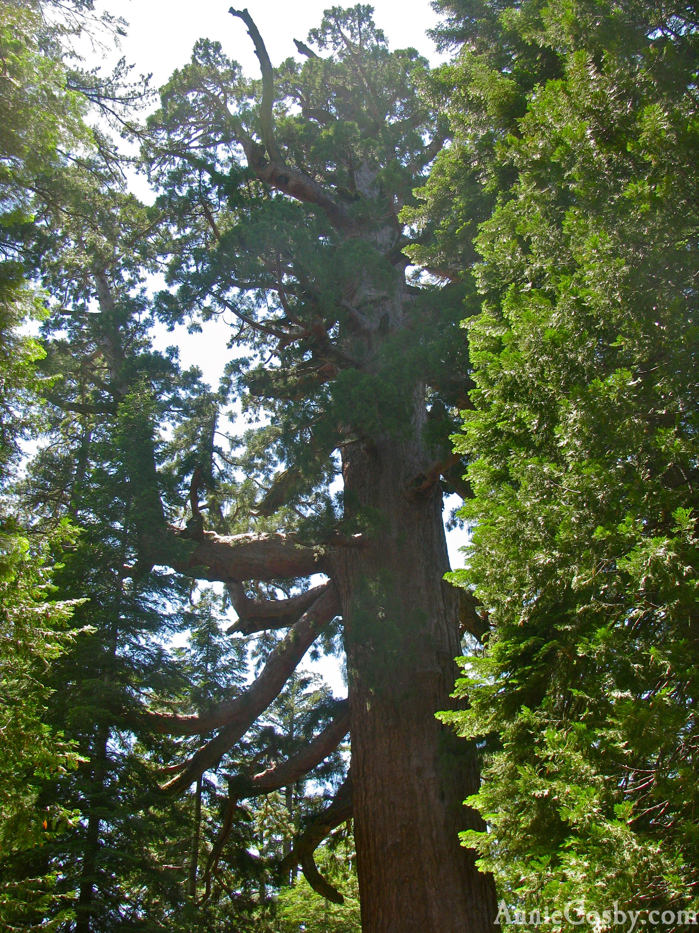 The Grizzly Giant, Mariposa Grove, California