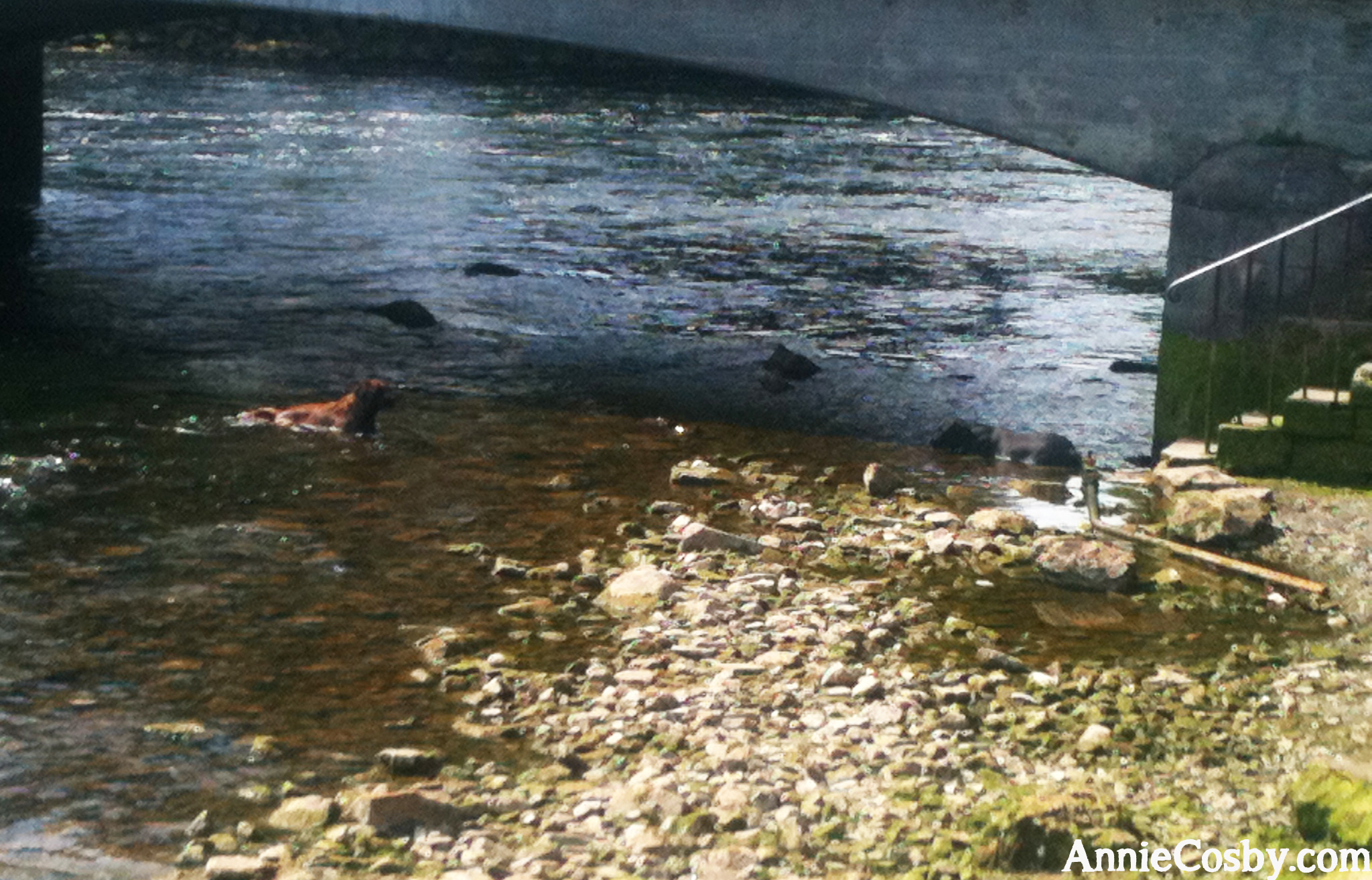 Dogs in Galway river
